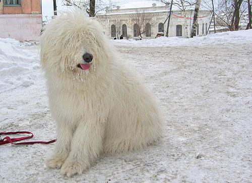 Дора, южно-русская овчарка, ей 10 месяцев.Фото прислала Татьяна Малова.
