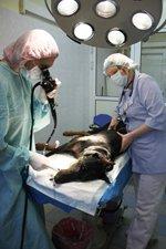 Бронхоскопия в ветеринарном центре ЗООВЕТ