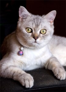 b Течка у /b кошек (эструс) - особое.