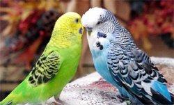 Occidentalis вымершая птица семейства комнатный.  Антильских островов, но я живу .  Новой зеландии, точнее на...
