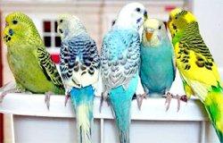 Фото взято из сайта: www.zoovet.ru.  Птенцы волнистых попугаев.