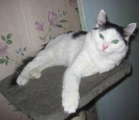 Черно коричнево белый кот
