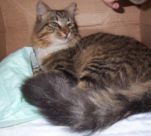 Серый кот с пушистым хвостом