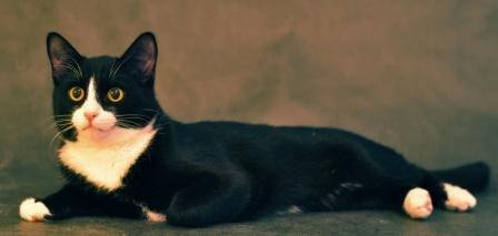 Чёрный кот с белой грудкой порода