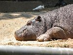 Фото сделано летом 2003 года в зоопарке города Сан-Пауло (Бразилия) Фото прислал Obidin Ilya
