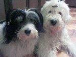 У меня две собаки : бобтейл Дэля ( 9 лет), дворняга Тимофей (13 лет).   Фото прислано: dormax