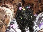 Фото нашей Анфисы (она той-пудель, на фото ей три месяца и 21 день). Настоящее имя у нее Ундина, но мы ее зовем просто Анфиска.  Фото прислала Ксения Калинина