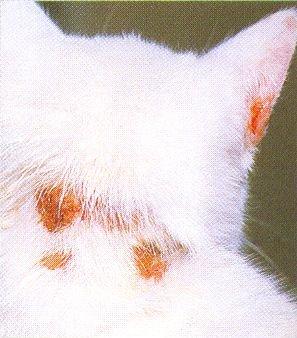 Стригущий лишай у кошек и собак - одно из самых распространенных заболеваний.  Вызвано оно попаданием опасных грибков