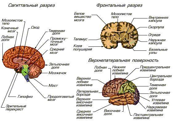 В головном мозге свыше 100
