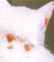 Дерматофитоз (стригущий лишай) у кошки.  Предыдущая.