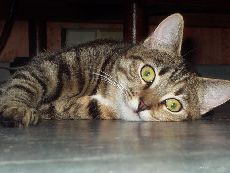����������� ����� (Hydatigerosis feline)