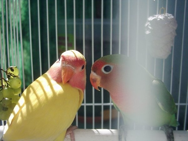 Мои пташки, Яша и Даша. Здесь им где то по 4 месяца)
