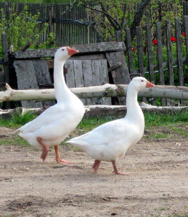 Два веселых гуся!