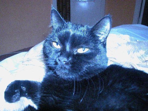 Это моя кошка, которую зовут Кыса, ей полтора гола, полностью черная, любит, когда ей гладят пузико.