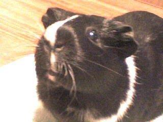 это моя морская свинка Дуся