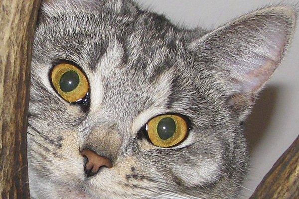 Кошечка моих знакомых. Багира