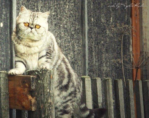 Моя любимая кошечка. Зовут Груняша. Порода смешанная: персидская с британской