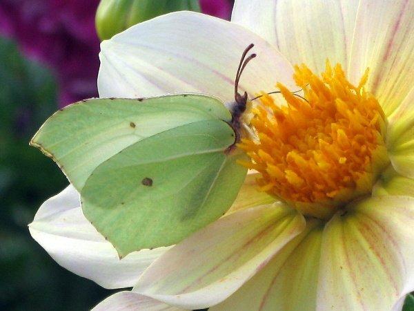 Бабочка - капустница