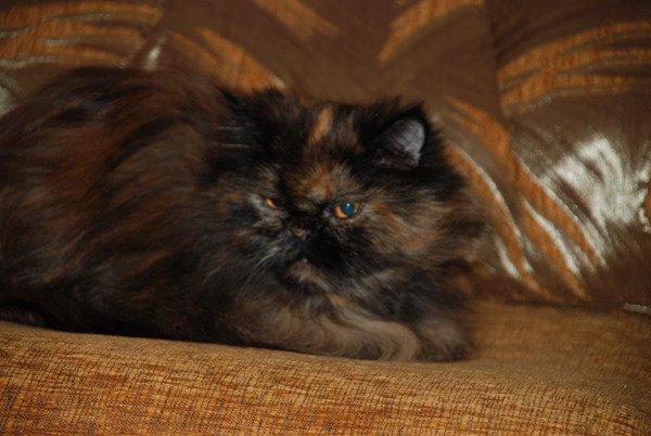 Кошка Лиза 11 лет