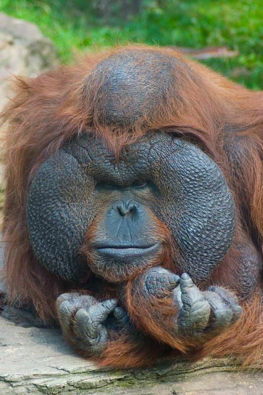 Портрет орангутана Снято в Московском зоопарке