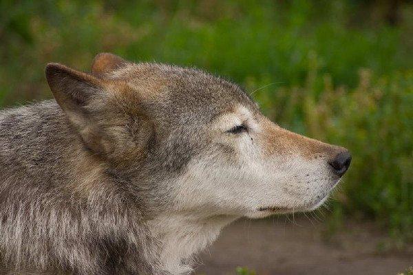 Canis lupus, он же Волк обыкновенный Московский зоопарк
