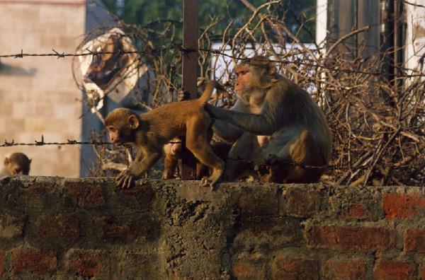 Из жизни бандерлогов Снято в северной Индии, в городе Вриндаване, где макаки резусы живут в огромном количестве.
