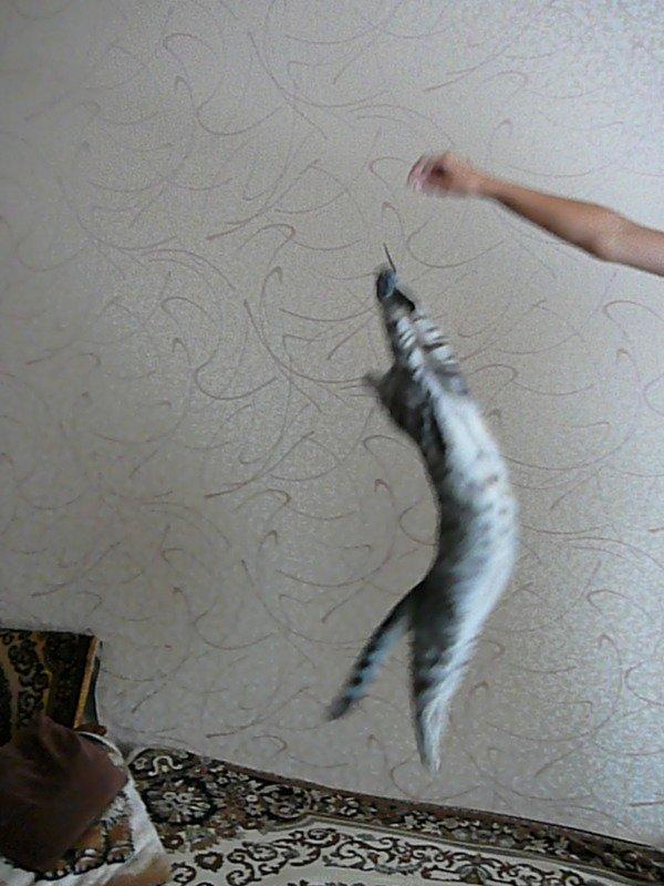 Барсик поймал любимую игрушку-мышку