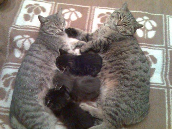 Кот Сноп с мамой Соней и братьями. Помогает воспитывать малышей.