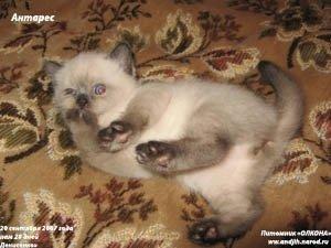 """Выпускник Питомника \\\""""ОЛКОНА\\\"""" - самый первый и любимый кошачий сынок Антарес Олкона"""