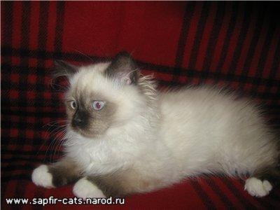 Котёнок породы РЭГДОЛЛ (Кошка КУКЛА)