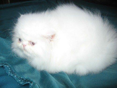 Белоснежный персидский котёнок