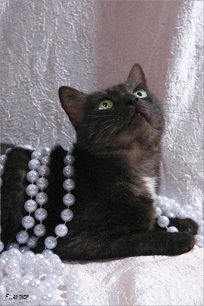 """В дар ласковая кошка Мулька редкого окраса \\\""""черный дым\\\""""  Пол-кошка  Кличка-Мулька  Возраст- около 3-4 лет  Порода-метис  Здоровье-здорова, привита, паспорт, стерилизована  Мини-описание: Миниатюрная, очень чистоплотная, ласковая и уютная молодая киса редкого окраса \\\""""черный дым\\\""""с белым галстучком на груди  пристраивается единственной любимицей в дом.   Лена г. Москва Москва тел.: 8-926-503-69-54 e-mail: elena0777@rambler.ru  фторабота Филантроп"""