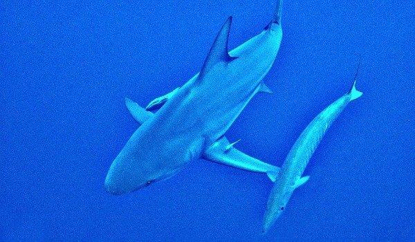 Рифовая Акула. Красное море. Глубина 33 м.