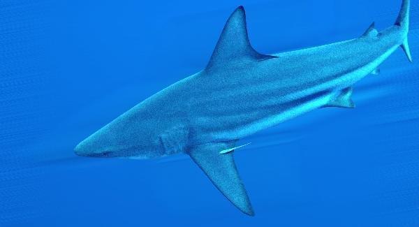 Рифовая акула - Красное море