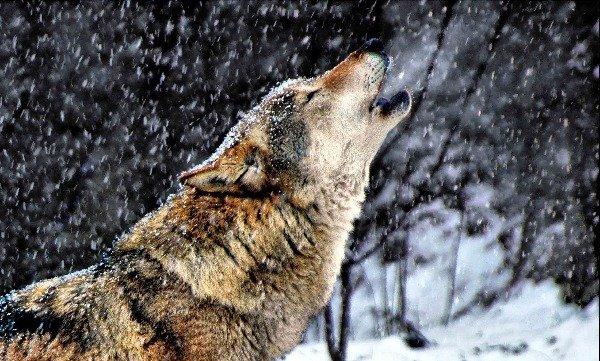 Волк - Шатурский район
