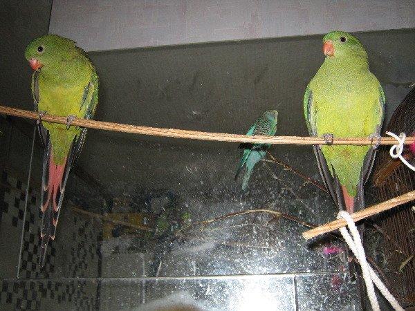 Попугаи-каннибалы?