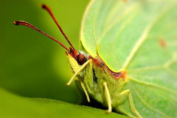 Наверное, одни из самых красивых представителей насекомых - это бабочки. Эту лимонницу я сфотографировала в Шатурском районе, близ озера Святое-Белое. Лето 2009