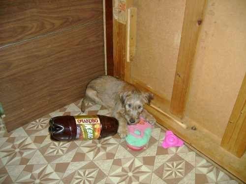 Ирландский терьер-щенок