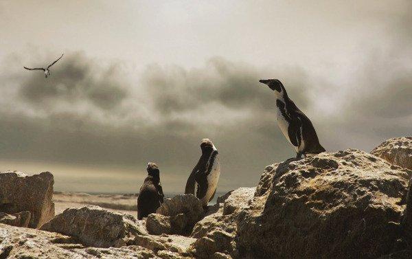 Peru, Paracas - Los pinguinos de Humboldt