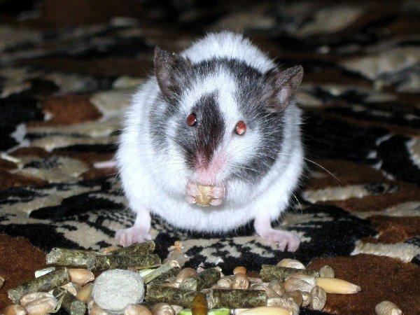 Японская мышка Кнопа
