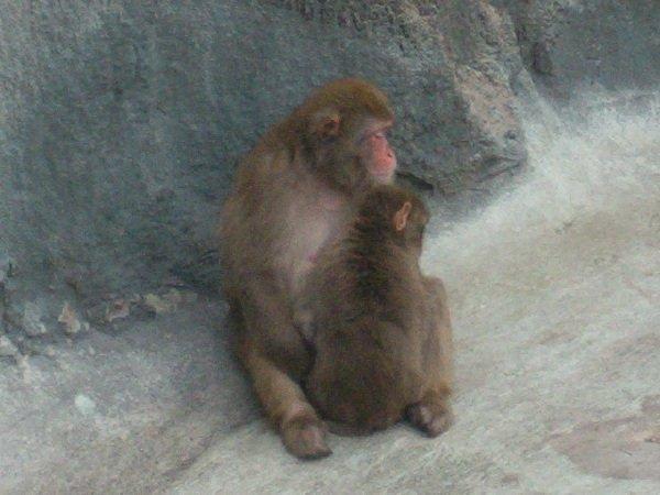 обезьянья нежность