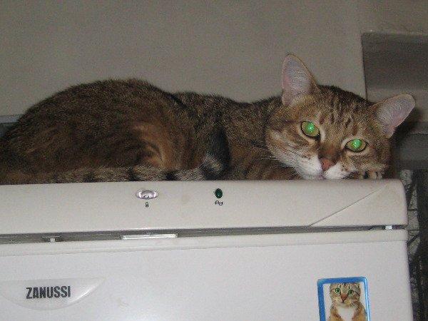 Кот Васька любит покушать. На холодильнике ему сверху видно все и он не упустит момент, когда можно попросить что-нибудь вкусненькое. Опять же в обществе своих.