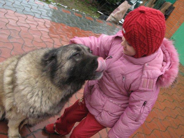 Любимец - кавказская овчарка Сара Любовь взаимная :)