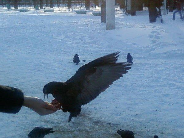 Зимой голубям особенно трудно добывать корм, поэтому я их подкармливаю