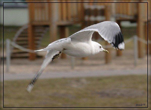 чайка на взлете