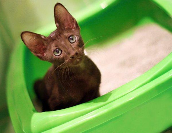 Милка, 4 месяца, Ориентальный котик,  за любимым делом, в туалете)