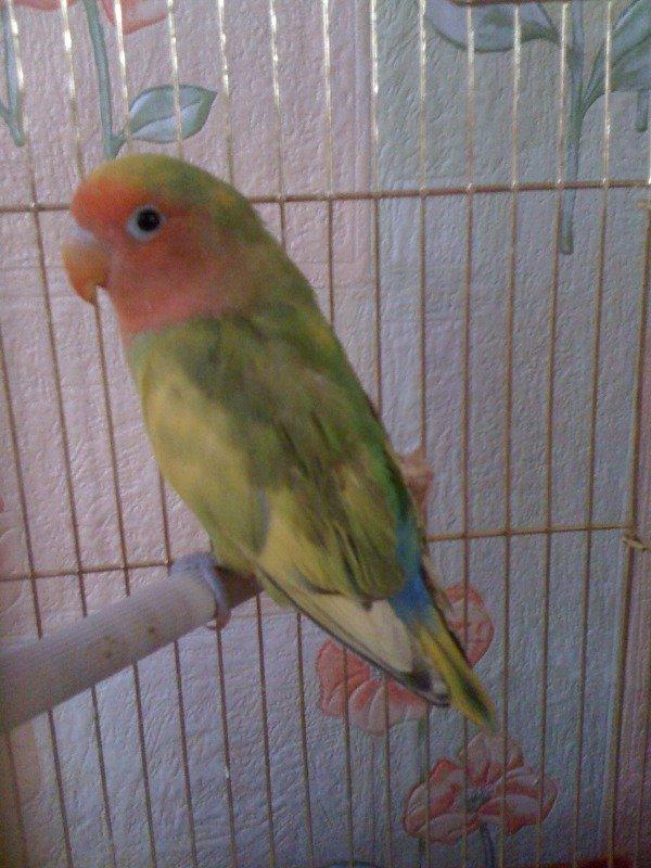 Пол попугая неразлучник