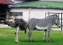 Страус объясняется зебрам в любви