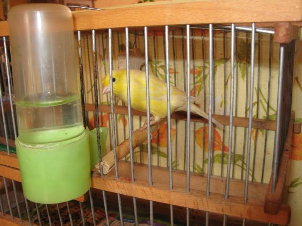 Канарейка (кенар) Жёлтик