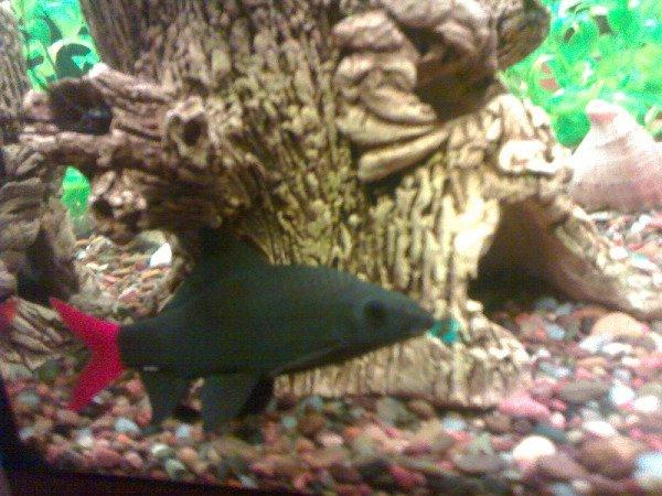 Рыбка лабео.